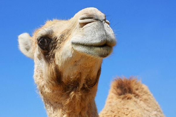 Experience Camels at the Living Desert Zoo and Gardens. Click for more details.