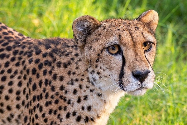 Cheetah behind the scenes tour. Click for more details.