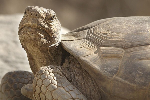 Desert tortoise education resources at The Living Desert Zoo and Gardens. Click for more information.