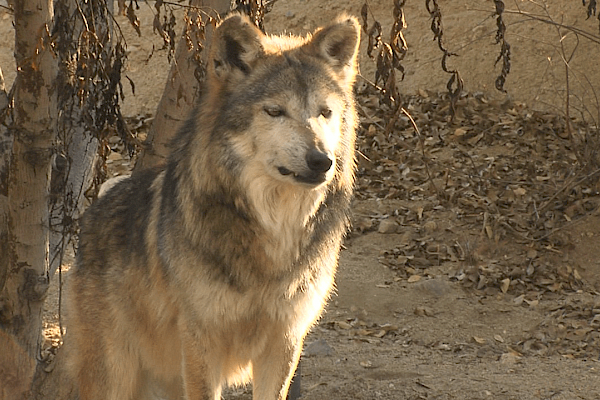 The Mexican wolf would be extinct today if it were not for the species survival program.