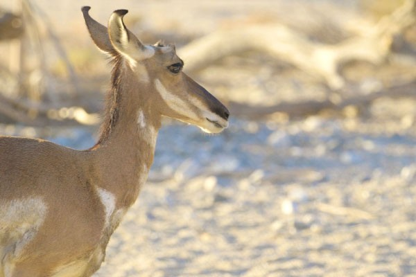 The Living Desert is a founding member of the Peninsular Pronghorn Interest Group .