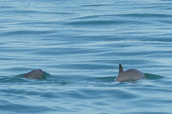 The Living Desert has been involved in vaquita conservation efforts since 2011.