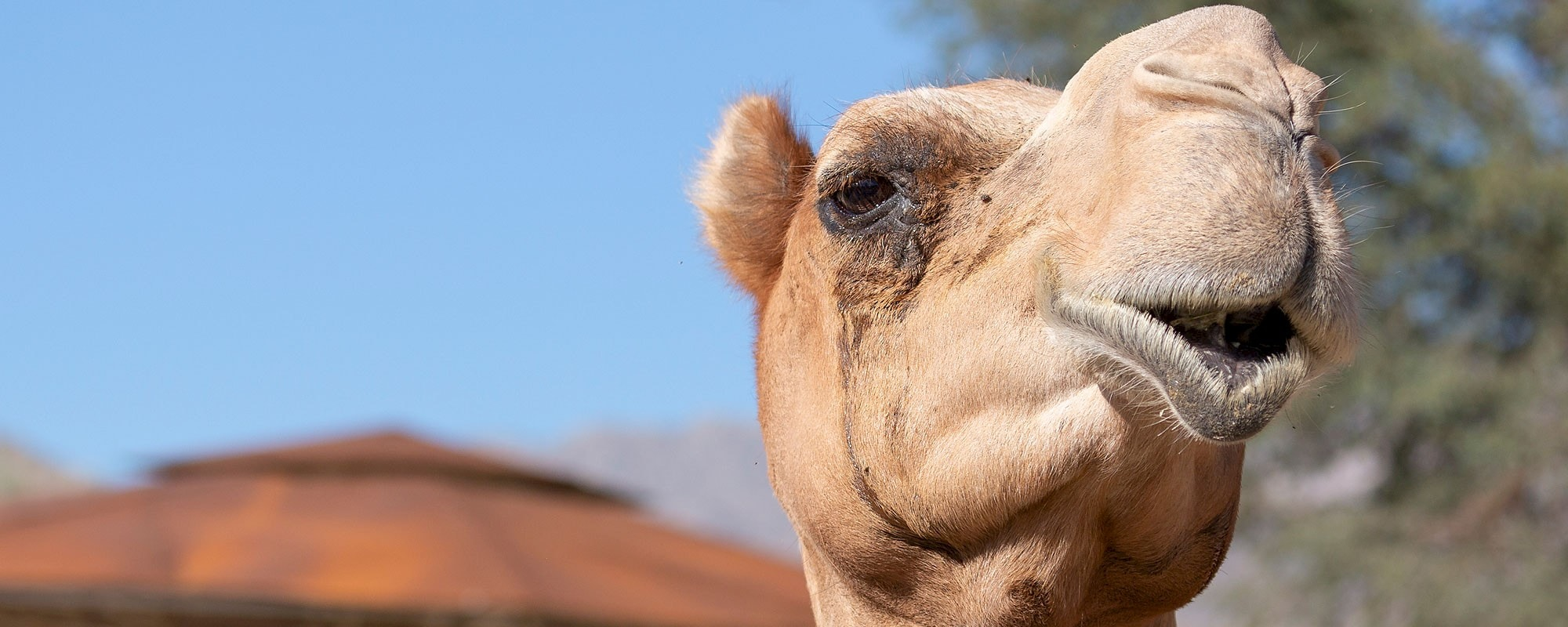 Say hi to our camels!