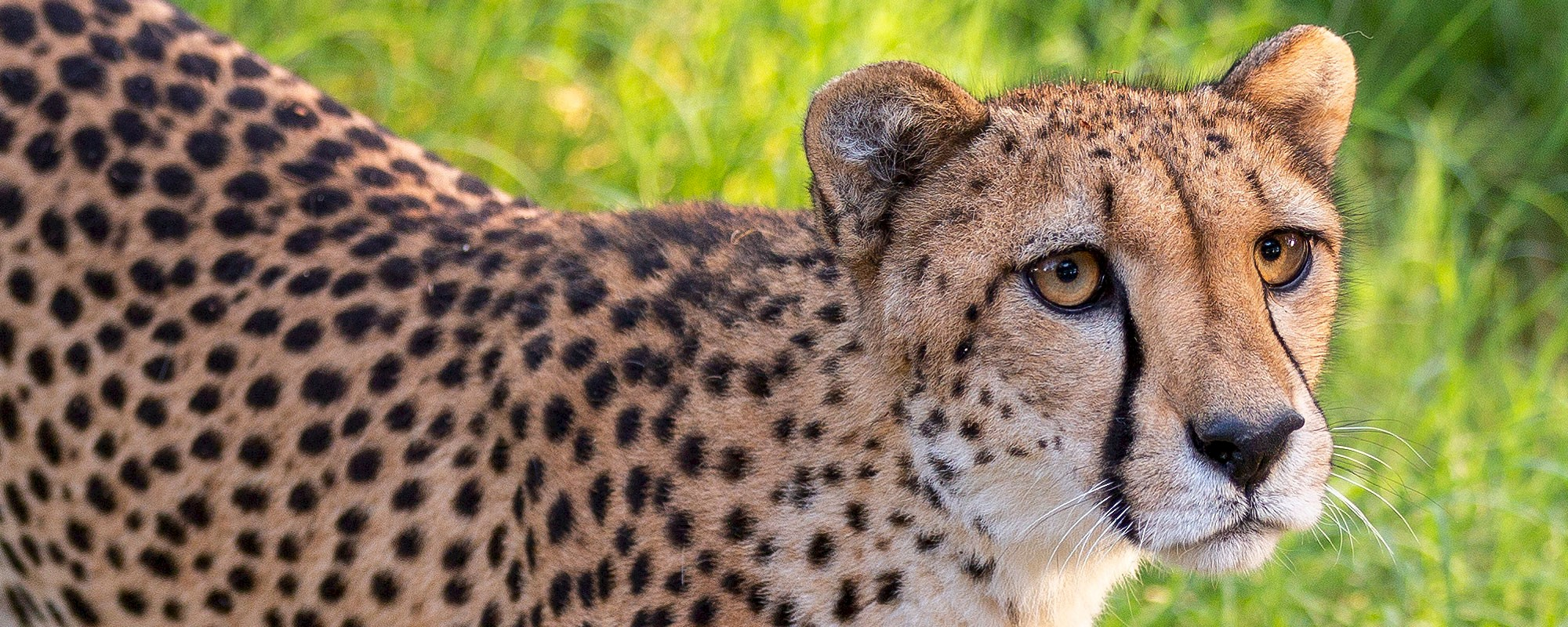 Any animal at The Living Desert can be symbolically adopted including cheetah, zebra, jaguar, giraffe, warthog and many more.