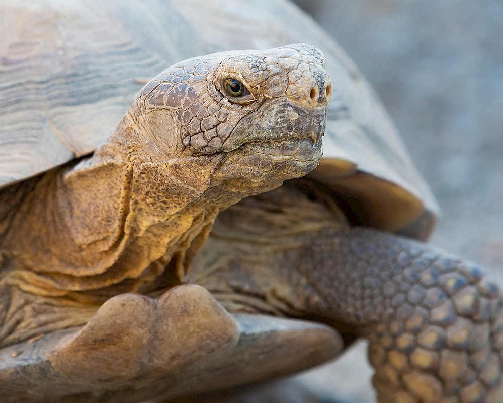 Desert tortoise education resources at The Living Desert Zoo and Gardens.