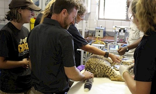 Mike and the CCF team doing exam of the cheetah cub #2.
