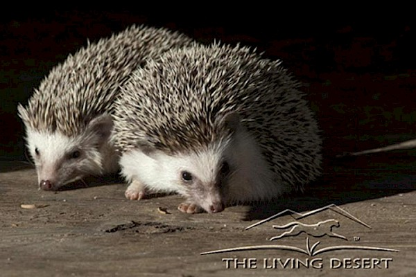 African Pygmy Hedgehog at The Living Desert Zoo and Gardens. Click to see more.