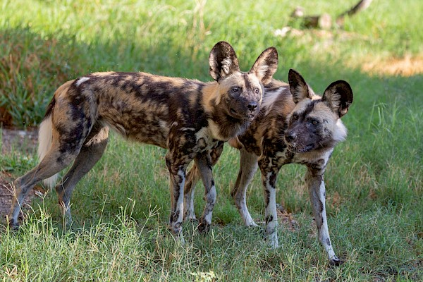 African Wild Dog at The Living Desert Zoo and Gardens. Click to see more.