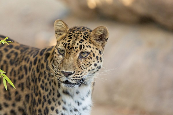 Amur Leopard at The Living Desert Zoo and Gardens. Click here to see more.