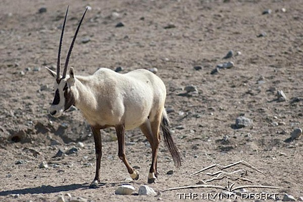Arabian Oryx at The Living Desert Zoo and Gardens. Click to see more.