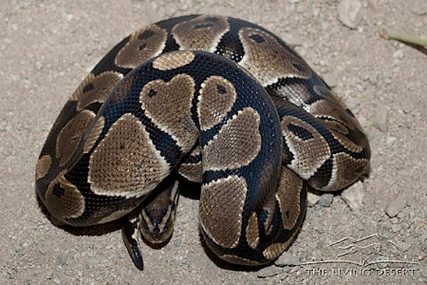 Ball Python at The Living Desert Zoo and Gardens. Click to see more.