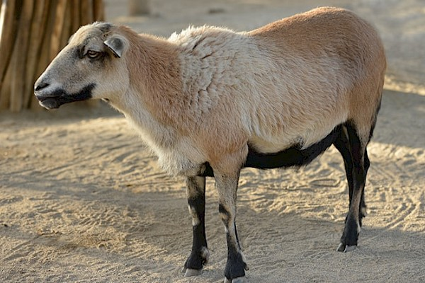 Barbados Blackbelly Sheep at The Living Desert Zoo and Gardens. Click to see more.