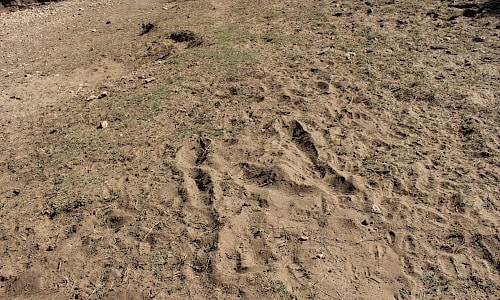 Photo of Giraffe tracks.