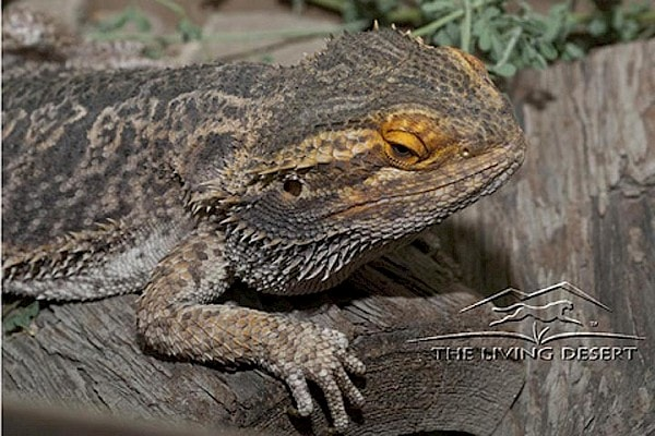 Bearded Dragon at The Living Desert Zoo and Gardens. Click to see more.
