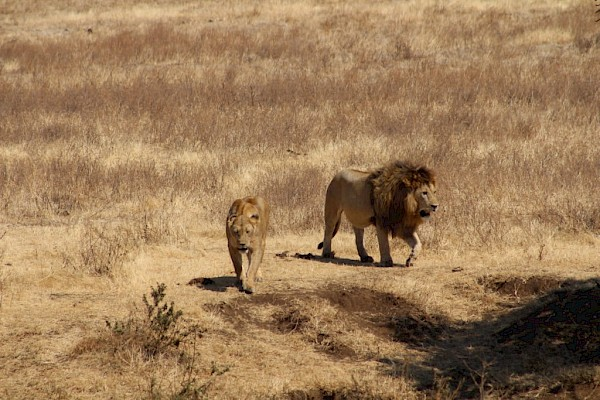 Lions at the Ngorongoro Conservation Area.