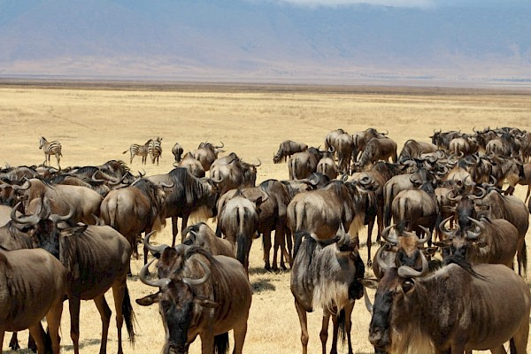 Wildebeest herd at the Ngorongoro Conservation Area.