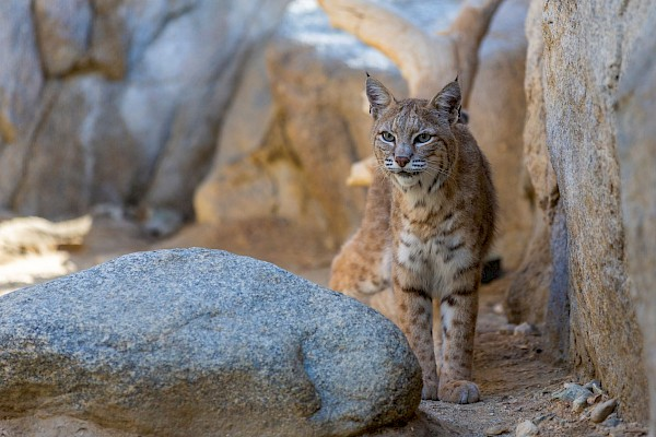Bobcat at The Living Desert Zoo and Gardens. Click to see more.