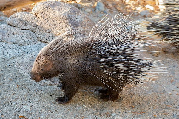Cape Porcupine at The Living Desert Zoo and Gardens. Click to see more.