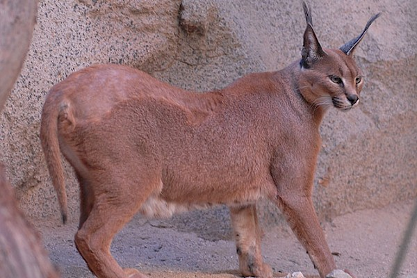 Caracal at The Living Desert Zoo and Gardens. Click to see more.