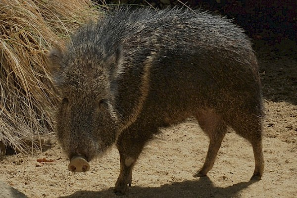Chacoan Peccary at The Living Desert Zoo and Gardens. Click to see more.