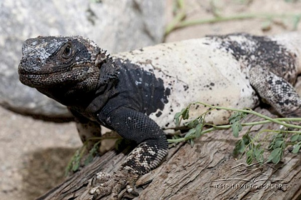 Chuckwalla at The Living Desert Zoo and Gardens. Click to see more.