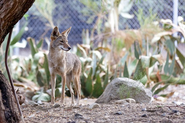 Coyote at The Living Desert Zoo and Gardens. Click to see more.