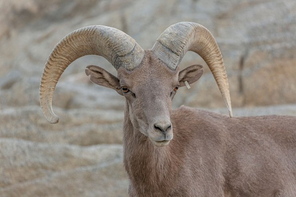 Desert Bighorn Sheep at The Living Desert Zoo and Gardens. Click to see more.
