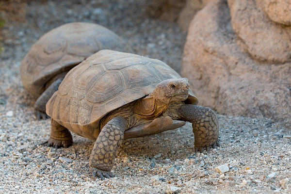 Desert Tortoise at The Living Desert Zoo and Gardens