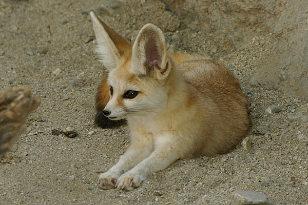 Fennec Fox at The Living Desert Zoo and Gardens. Click to see more.