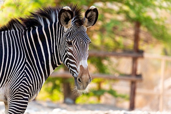 Grevy's Zebra at The Living Desert Zoo and Gardens. Click to see more.