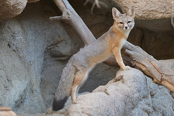 Kit Fox at The Living Desert Zoo and Gardens. Click to see more.