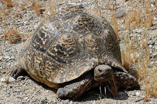 Leopard Tortoise at The Living Desert Zoo and Gardens. Click to see more.