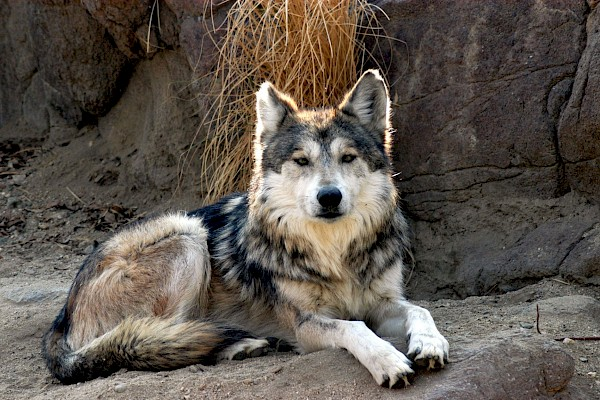 Mexican Wolf at The Living Desert Zoo and Gardens. Click to see more.