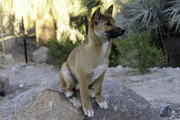 New Guinea Singing Dog at The Living Desert Zoo and Gardens. Click to see more.