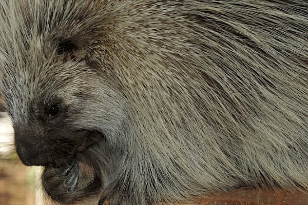 North American Porcupine at The Living Desert Zoo and Gardens. Click to see more.