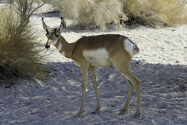 Peninsula Pronghorn at The Living Desert Zoo and Gardens. Click to see more.