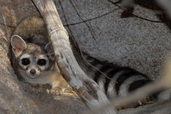 Ringtail at The Living Desert Zoo and Gardens. Click to see more.