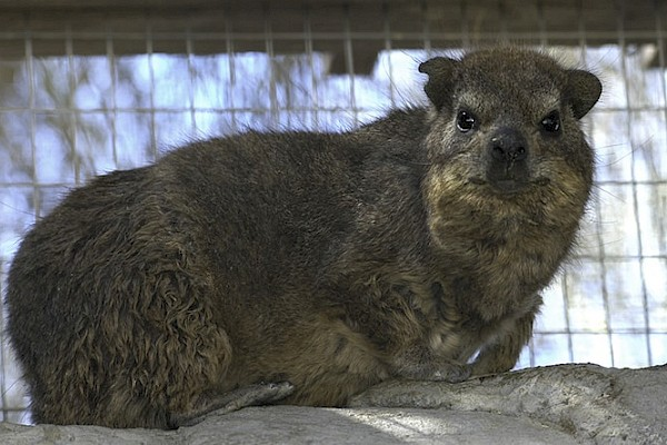 Rock Hyrax at The Living Desert Zoo and Gardens. Click to see more.