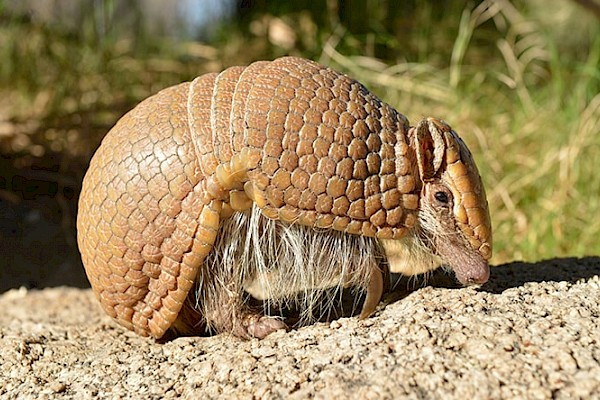 Southern Three-banded Armadillo at The Living Desert Zoo and Gardens. Click to see more.