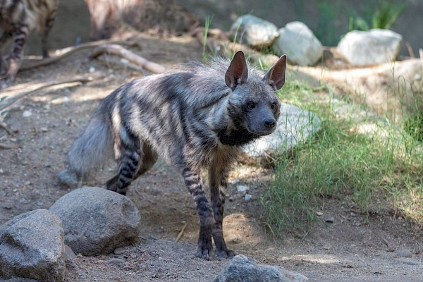 Striped Hyena at The Living Desert Zoo and Gardens. Click to see more.