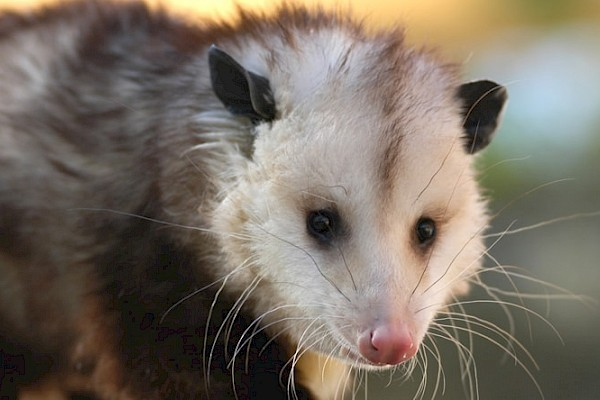 Virginia Opossum at The Living Desert Zoo and Gardens. Click to see more.
