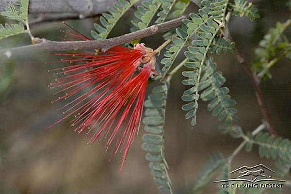Baja Fairy Duster at The Living Desert Zoo and Gardens. Click to see more.