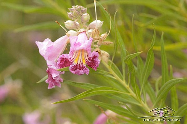 Desert Willow at The Living Desert Zoo and Gardens. Click to see more.