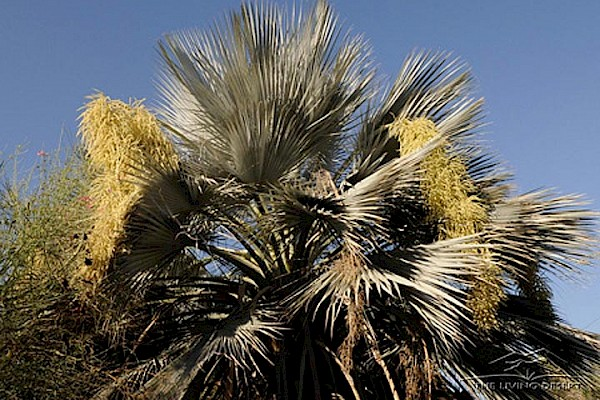 Mexican Blue Palm, Blue Hesper Palm at The Living Desert Zoo and Gardens. Click to see more.
