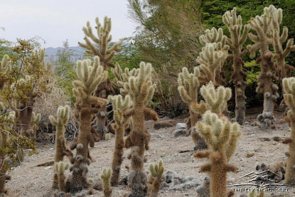 Teddy Bear Cholla, Jumping Cholla at The Living Desert Zoo and Gardens. Click to see more.
