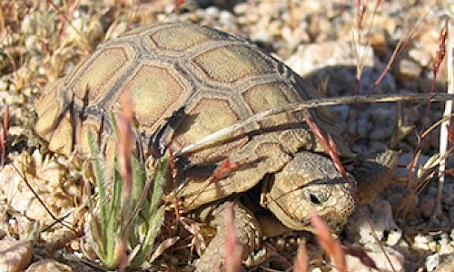 Desert tortoise are a threatened and federally protected species.