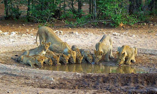 Lion family drinking from puddle.
