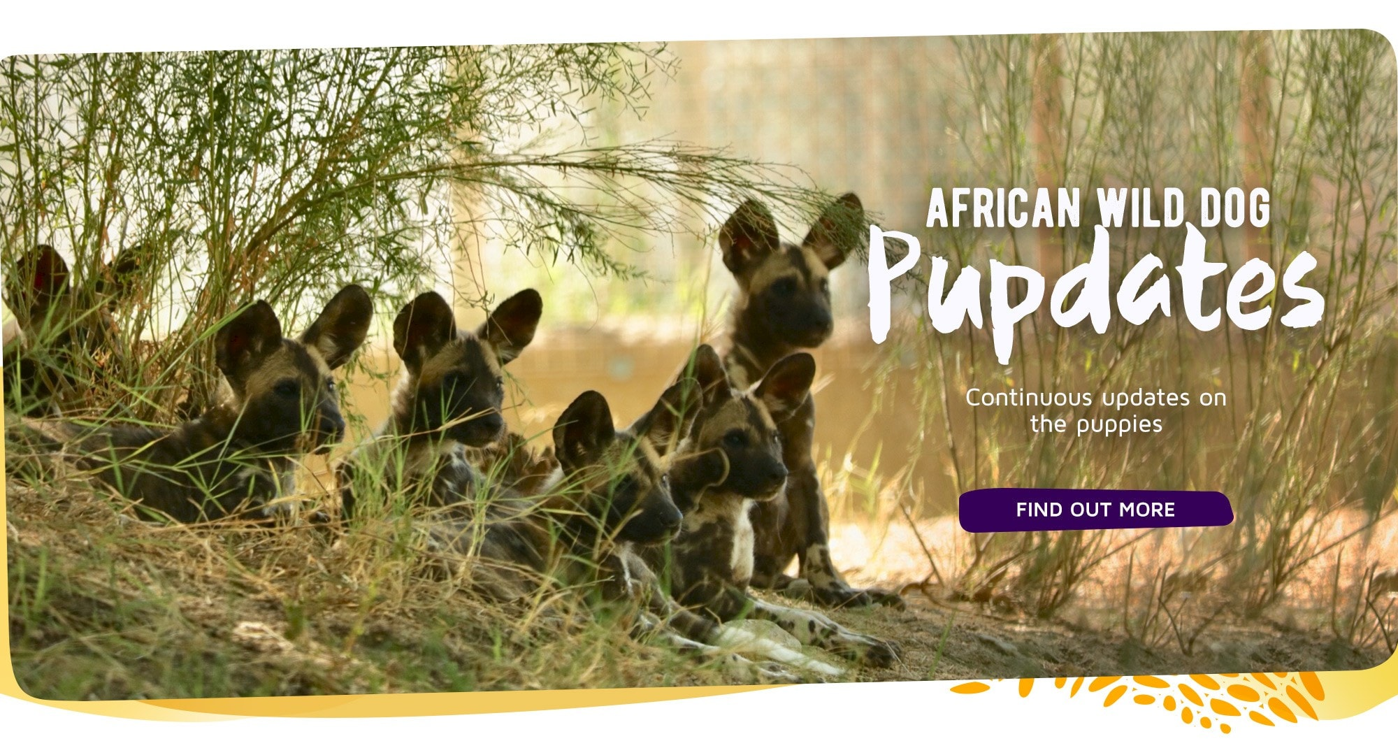 Continuous updates on the African wild dog puppies. Click for full updates.