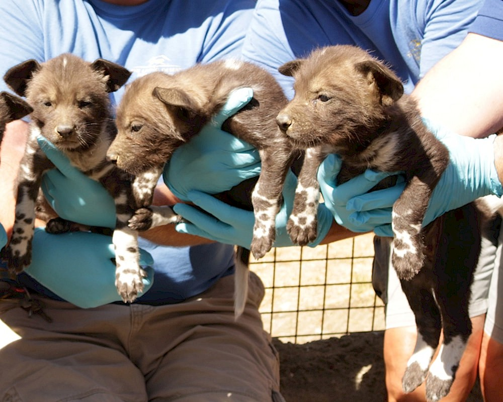 African Wild Dog Puppies at The Living Desert