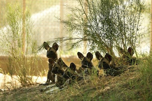 All 6 African Wild Dog puppies